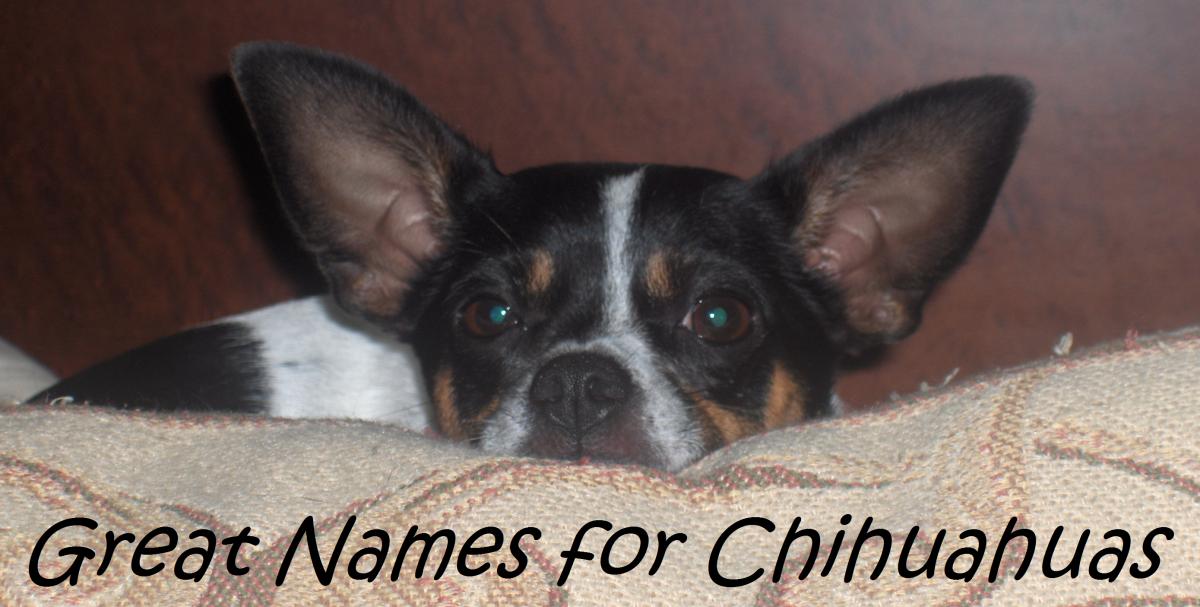 My own Chihuahua - Bella