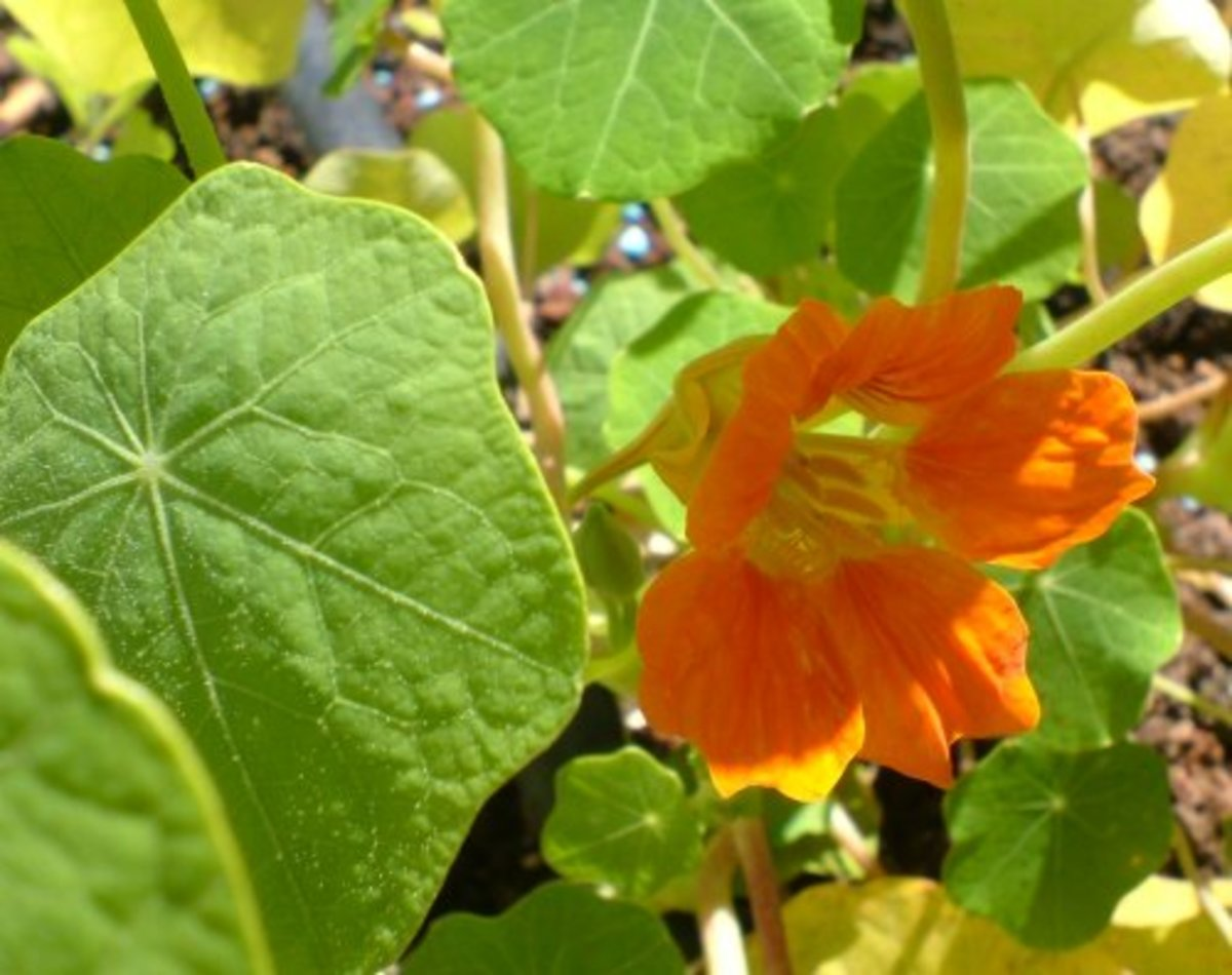 Edible Flowers: Garden and Wild Flowers You Can Eat