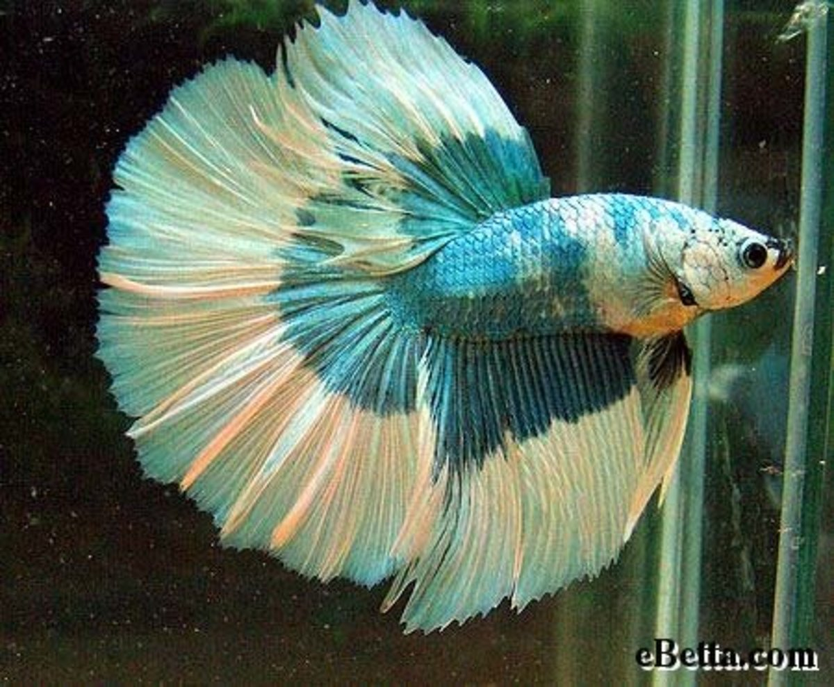 How i made a difference to neglected betta fish hubpages for Betta fish game