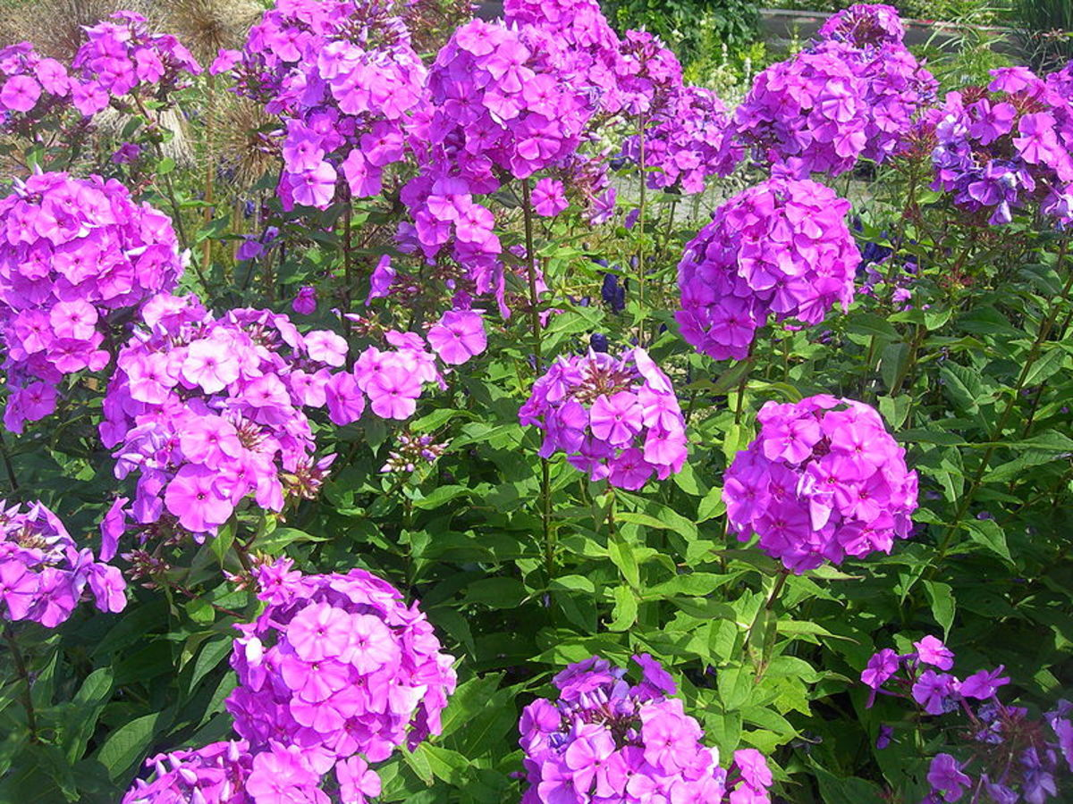 How to Grow Tall Garden Phlox for a Late Summer Bloom