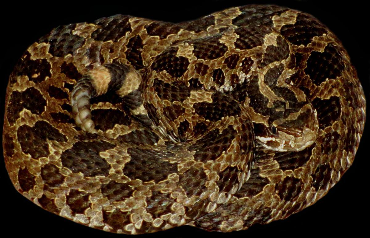 Eastern Massasauga Rattlesnake (Sistrurus catenatus catenatus, found in the northern third of the state.