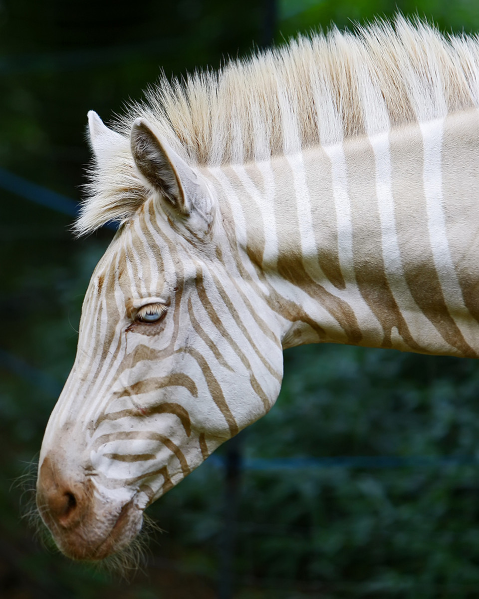 Meet Zoe, the Rare Golden Zebra