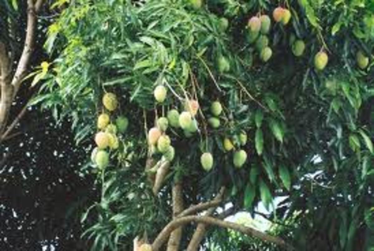 Mango tree envy!