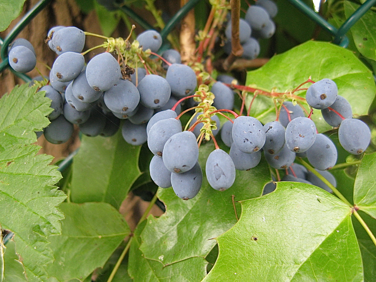 The Oregon Grape Plant and the Uses of Berberine