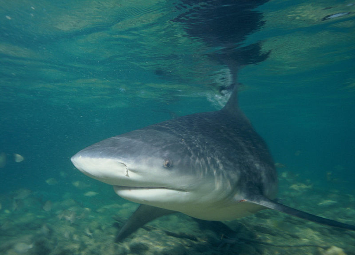 The Bull Shark isn't the largest shark in the world, but it's a terrifying predator known to make its way far up freshwater rivers.