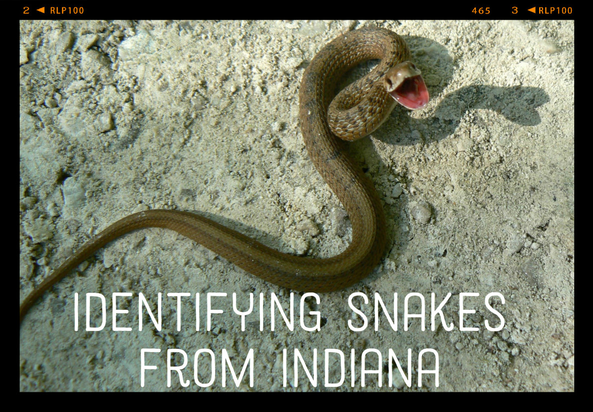 A midland brown snake, one of Indiana's most common snake varieties. Only six inches long, this snake was feeling fierce in spite of its size.