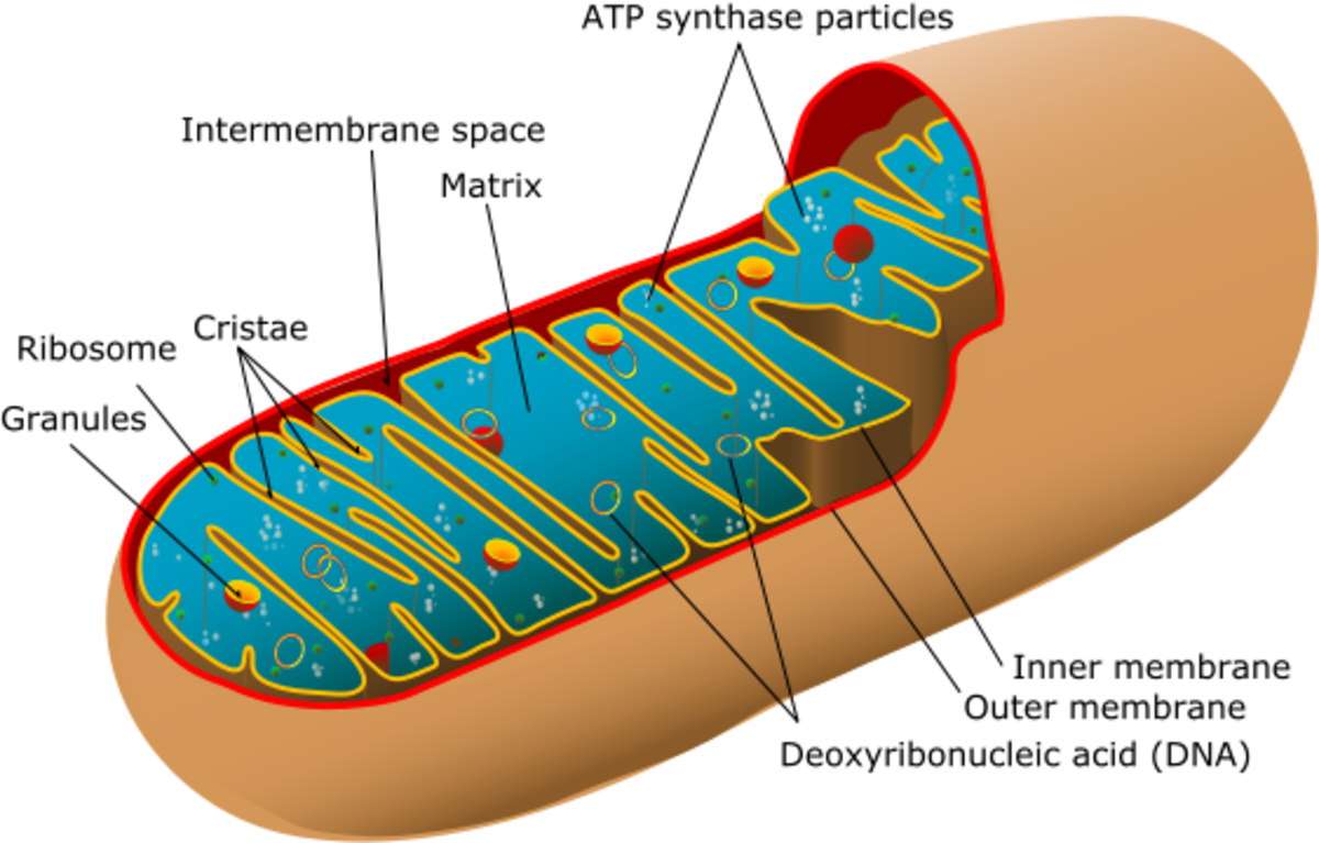 Mitochondria Facts and Disease: DNA Outside the Nucleus