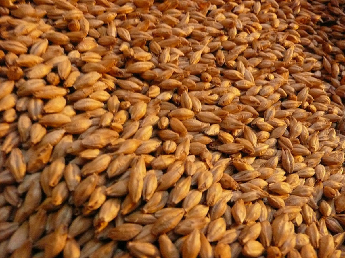 Malted barley ready for processing into beer.