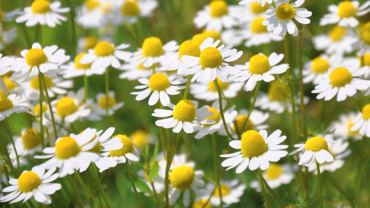 Chamomile is a gentle but effective herb traditionally used for teething symptoms.