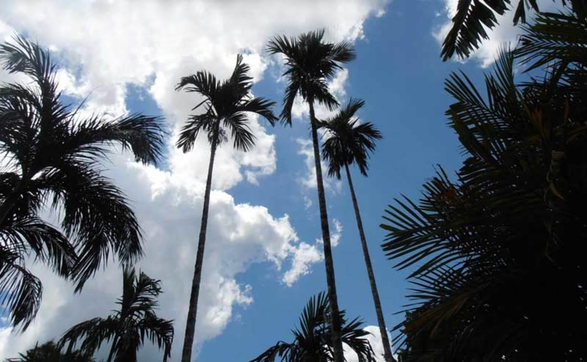 Indoor Houseplants Tall Palms Html on