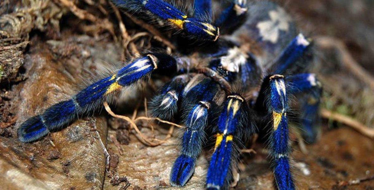 Poecilotheria metallica, common: Gooty Sapphire Ornamental