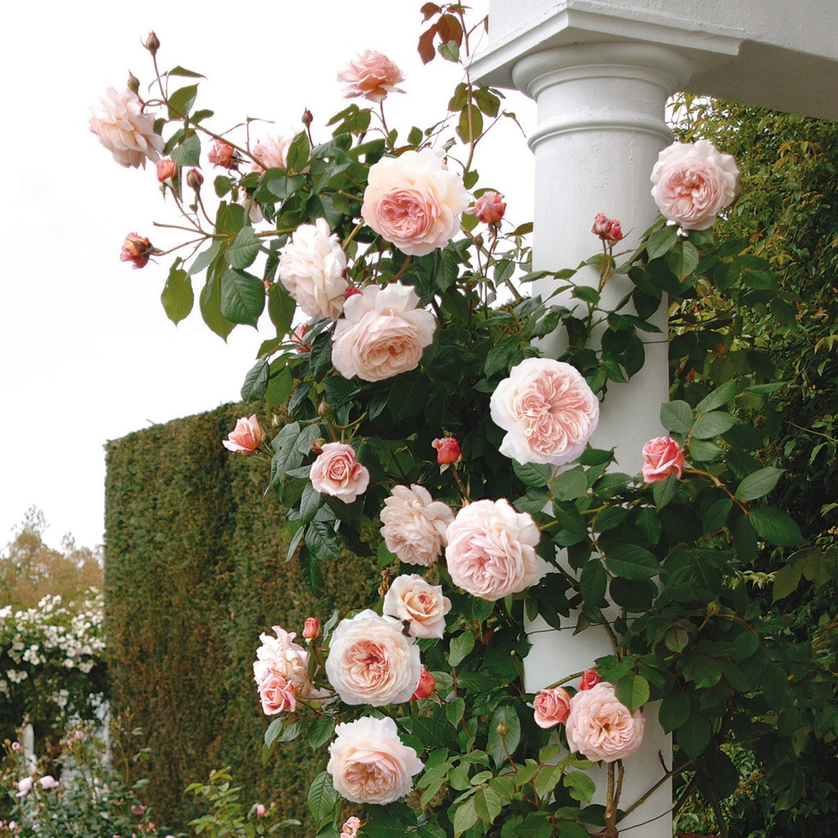 A Shropshire Lad. Named by the grower, David Austen, himself fom Shropshire, in honour of A.E.Housman's cycle of poems