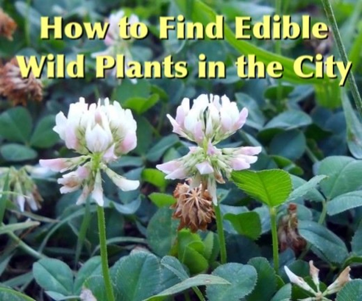 What Is Urban Foraging? How to Find Free Food in the City!