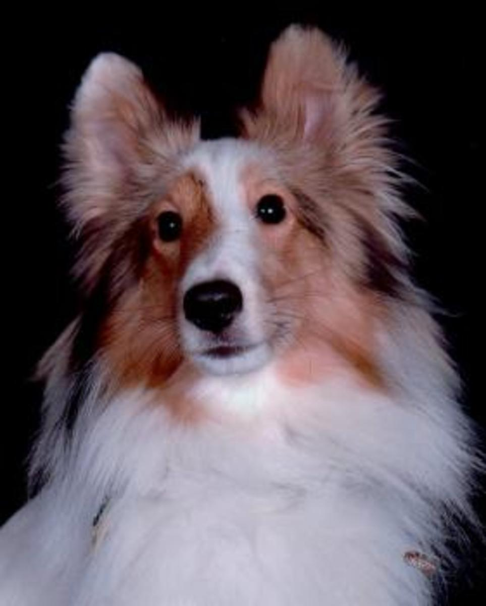 Jericho, the author's hard of hearing sheltie.
