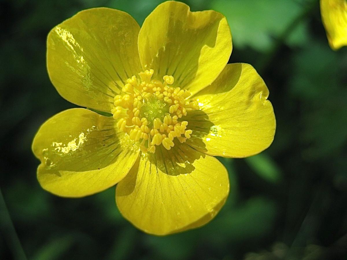 A buttercup flower