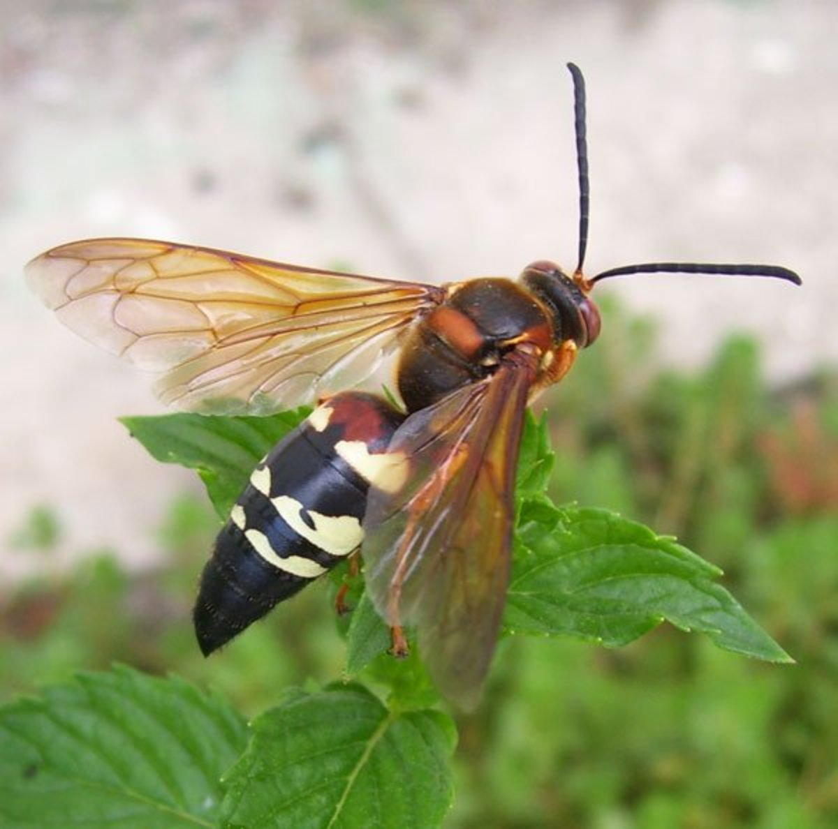 How to Get Rid of Cicada Killer Wasps