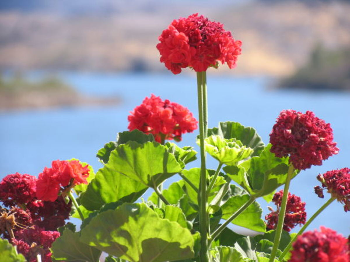 Geraniums are beautiful, hearty and colorful flowers, and a lovely addition to any home.