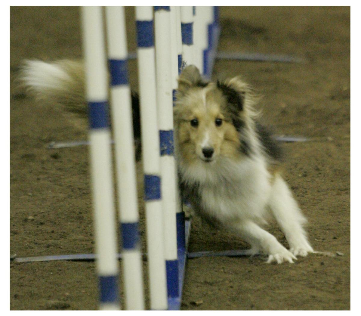 One Dog's Championship Journey: Our Road to Earning the AKC's Agility Championship Title