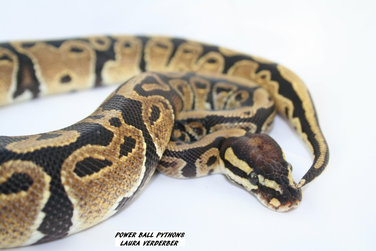 This is my male josie ball python, a morph that is very rare and makes great combinations with other types of morphs. I'm very proud that my photo ended up on an international website to be used as a reference.