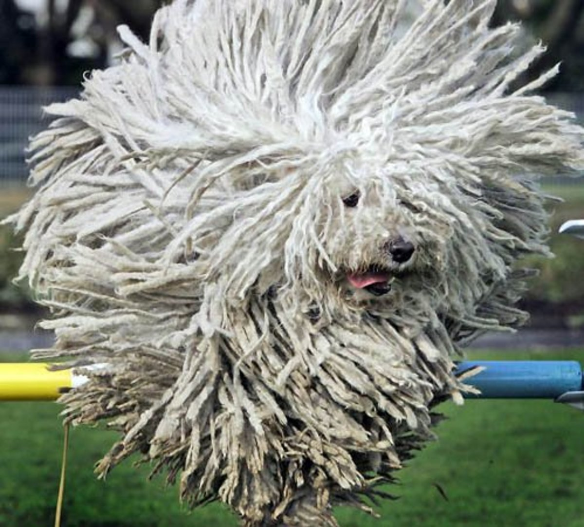 "You can probably guess how this breed got the nickname ""mop dog."""
