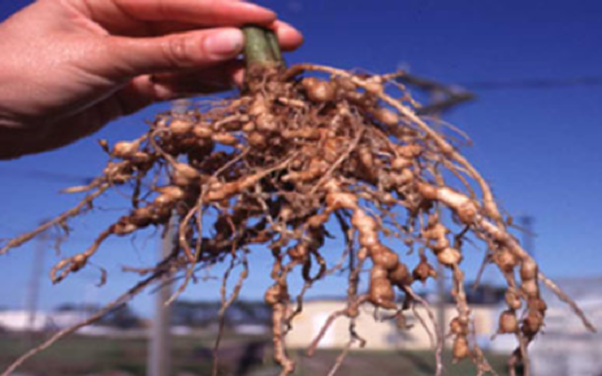 Root-knot nematode damage on roots is striking, and is evidenced by nodules where the nematodes have entered the roots. This problem occurs in a wide range of garden and crop plants.
