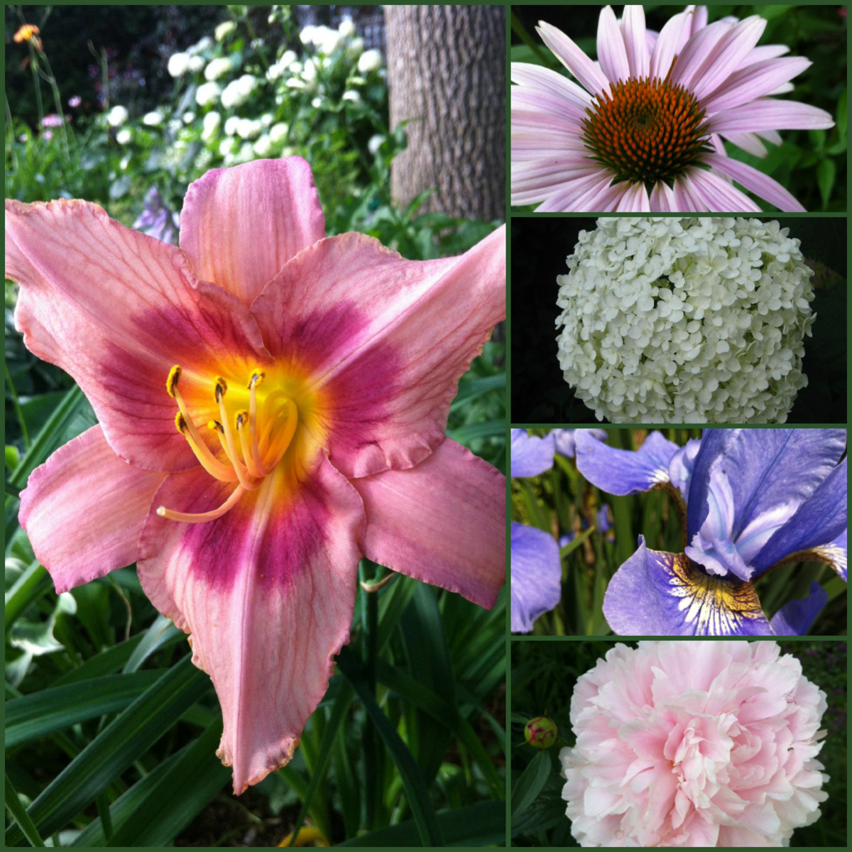 Low maintenance perennials with beautiful flowers include coneflowers, hydrangea, irises, peonies and day lilies..