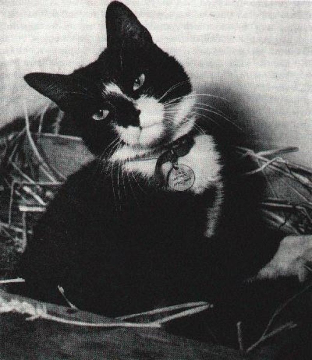 "Able Seaman Simon the Cat Wins the ""Animal VC""  After  the Yangtze Incident"