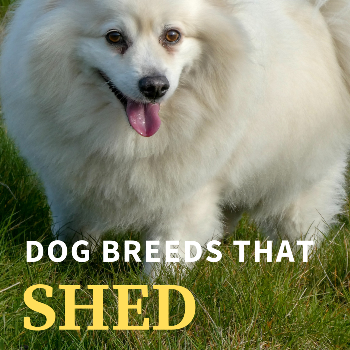 Dog Breeds That Shed