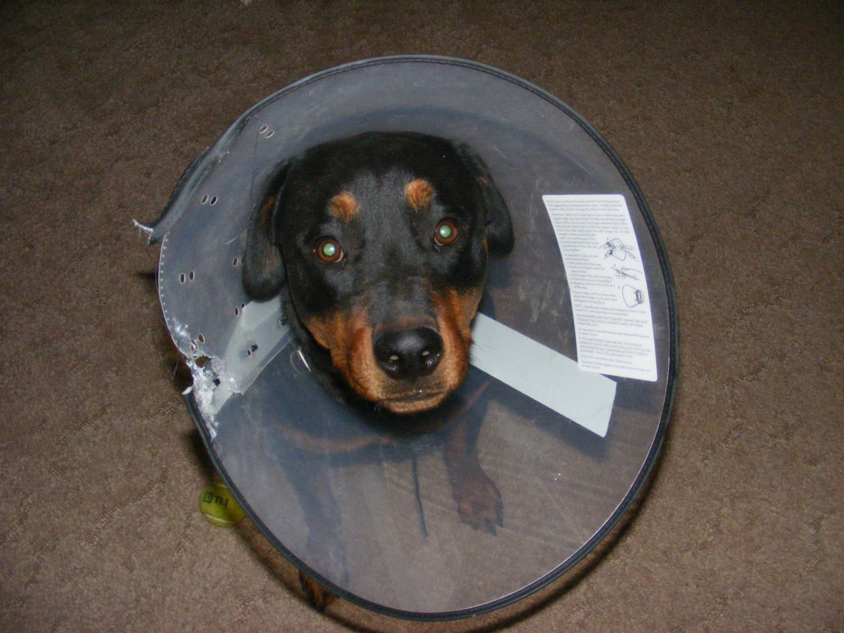 Dog licking or chewing a wound? Protect it with an Elizabethan collar!