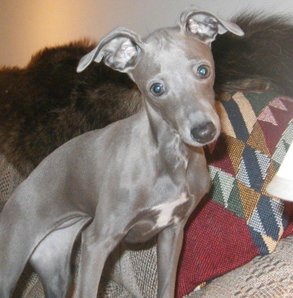 Is An Italian Greyhoun...