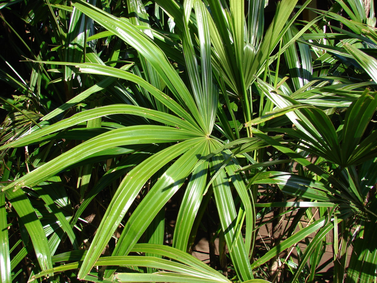 How to Grow and Care for Rhapis Palm (Lady Palm)