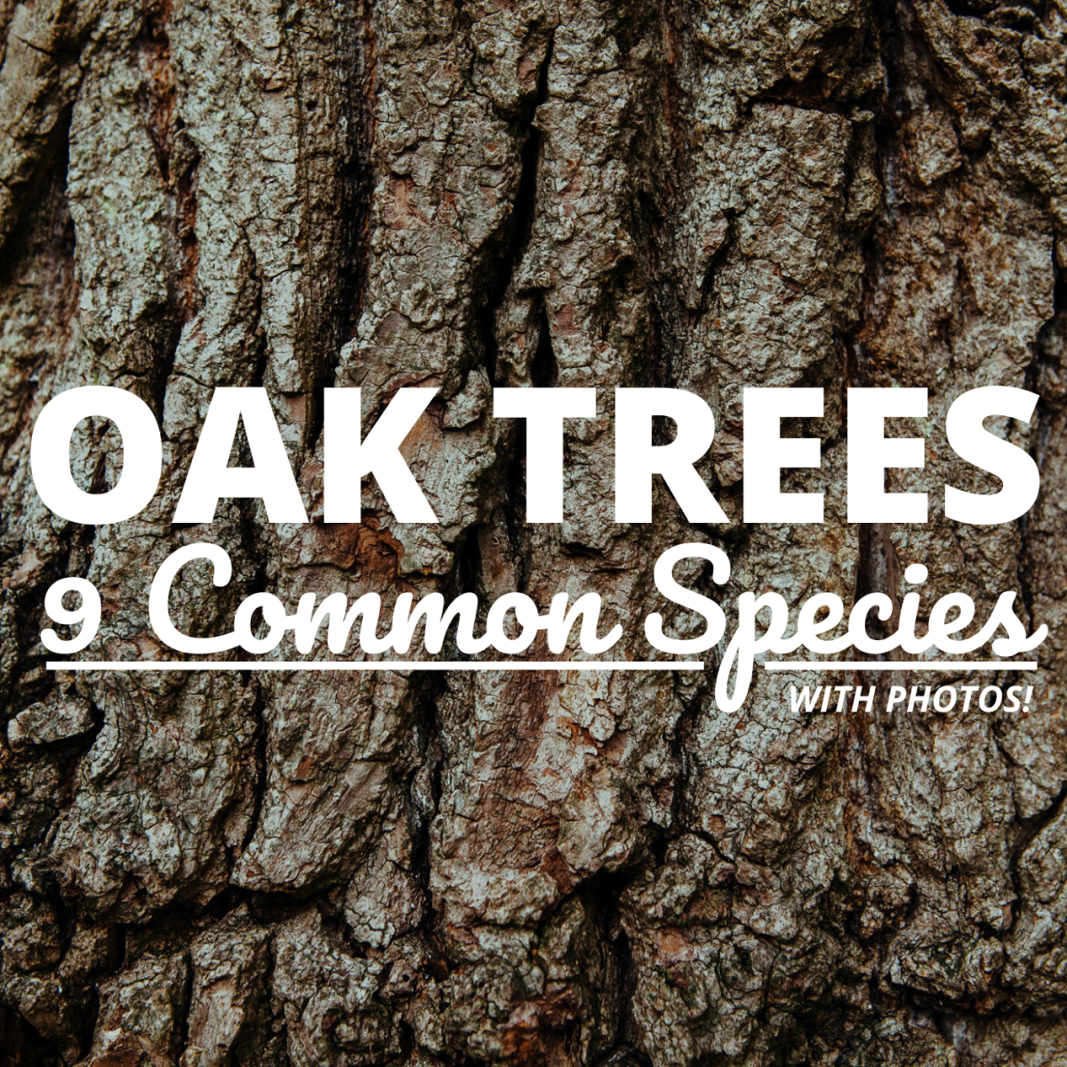 Learn to identify a few of the more common oak species based on their bark, leaves, and other characteristics.