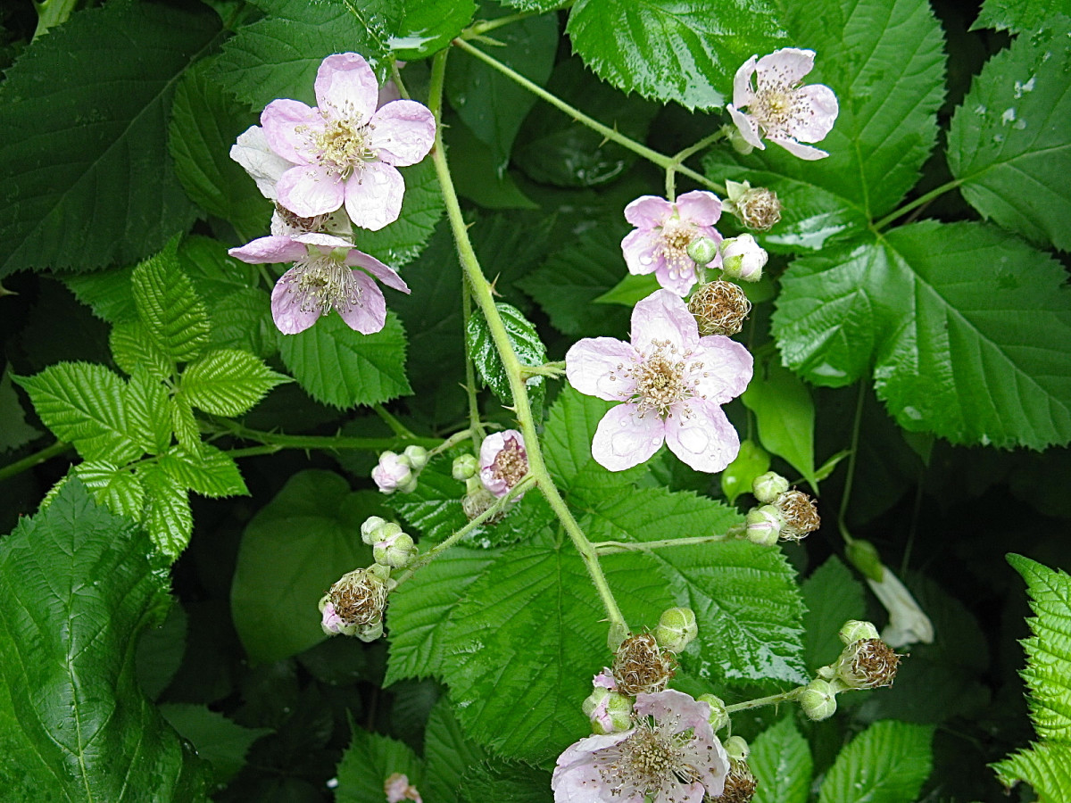 Himalayan Blackberry Plants - Invasive, Noxious and Beautiful