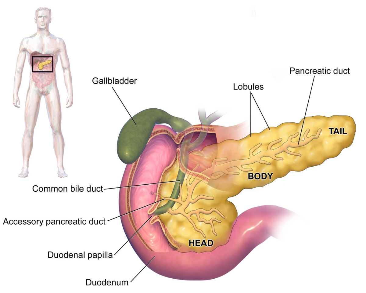 The pancreas is nestled into the curve formed by the duodenum, which Is the first part of the small intestine. It makes both glucagon and insulin.