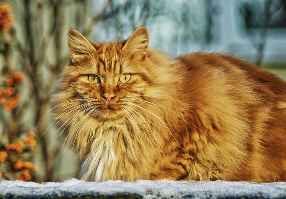 Cat flu in cats