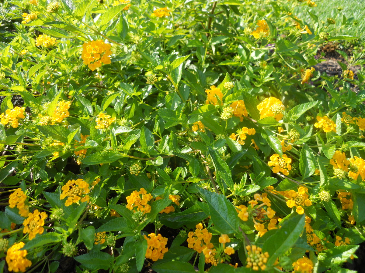 Hearty Yellow Lantana