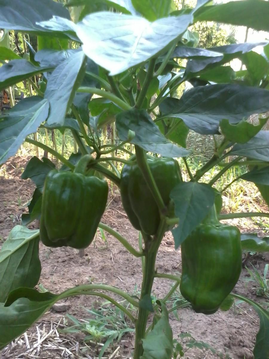 My sweet little sweet peppers.