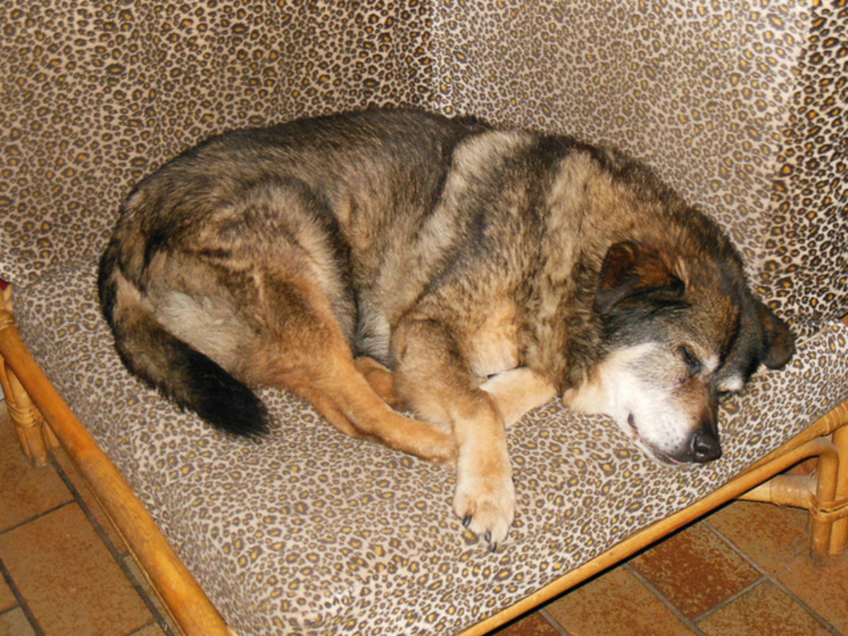Is your old dog disoriented when not sleeping?