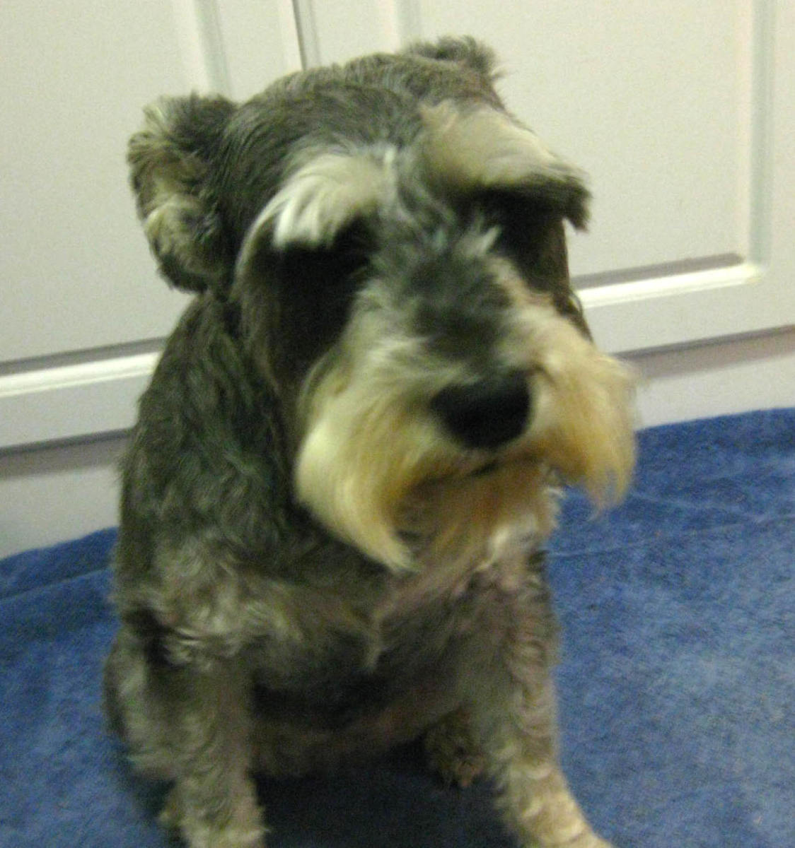 Here's my girl with her short summer haircut, but she still has that distinctive schnauzer look.