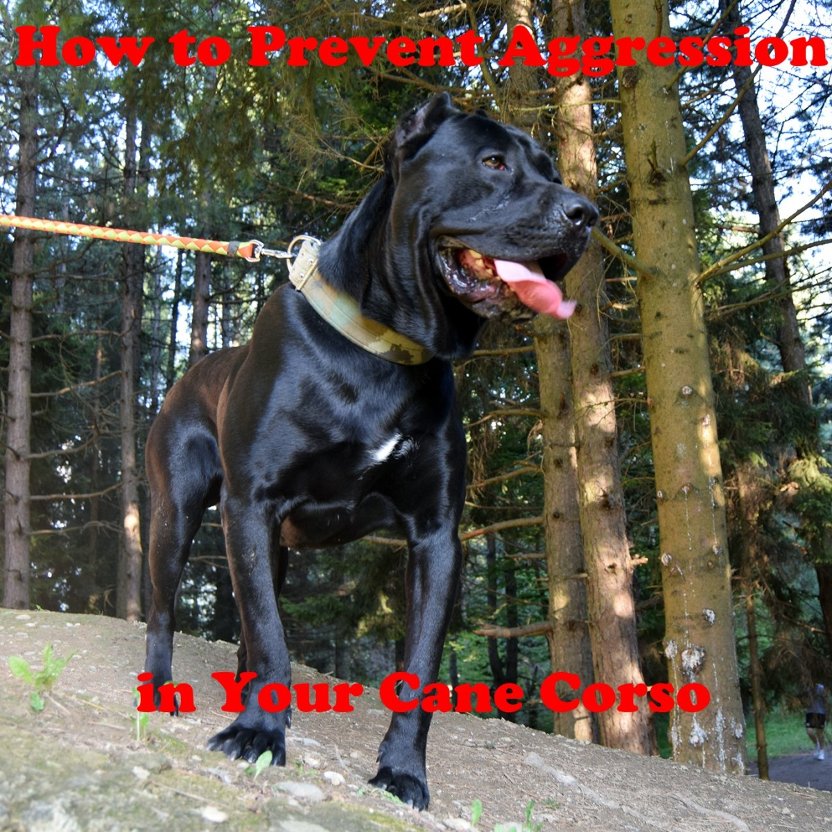 How to prevent aggression in your Cane Corso.