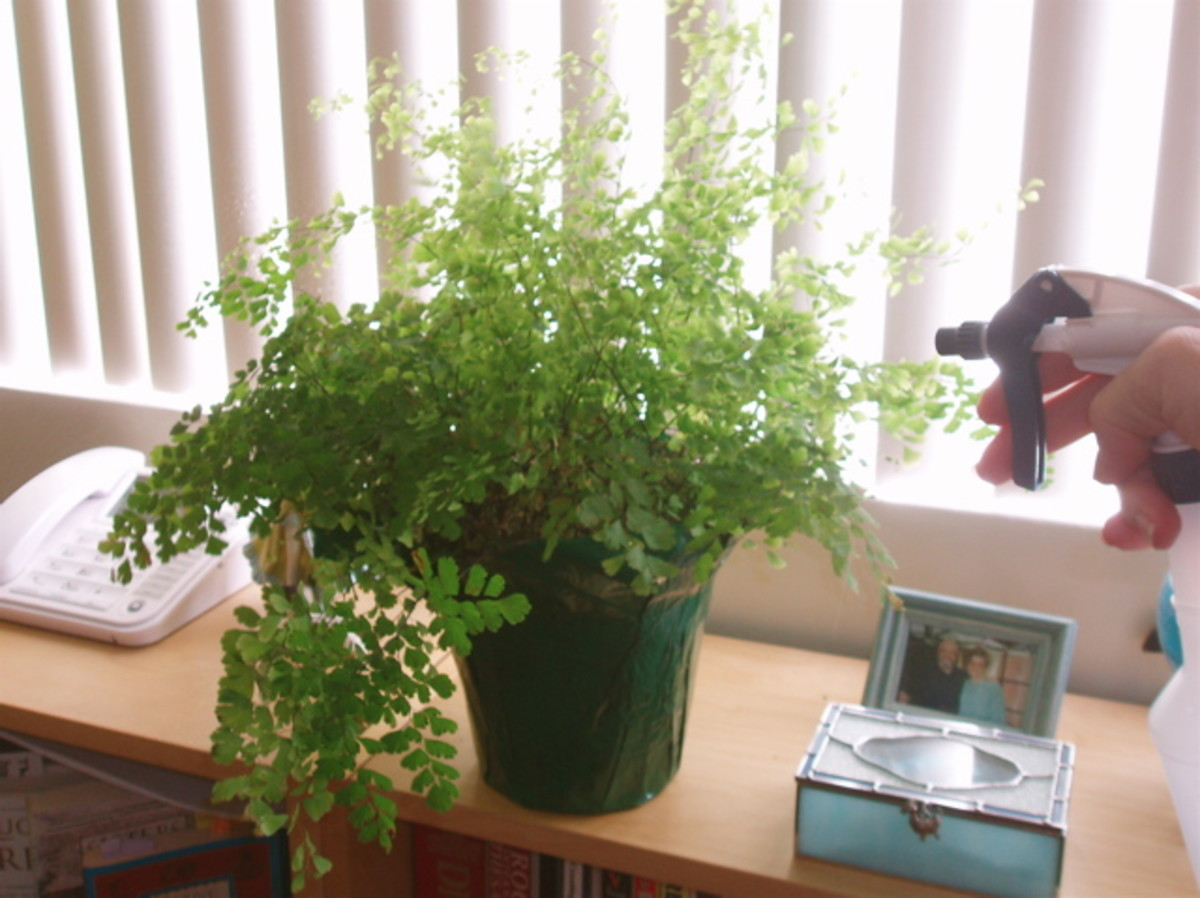 Maidenhair is a delicate fern that dies quickly when not cared for, but is gorgeous when it is.