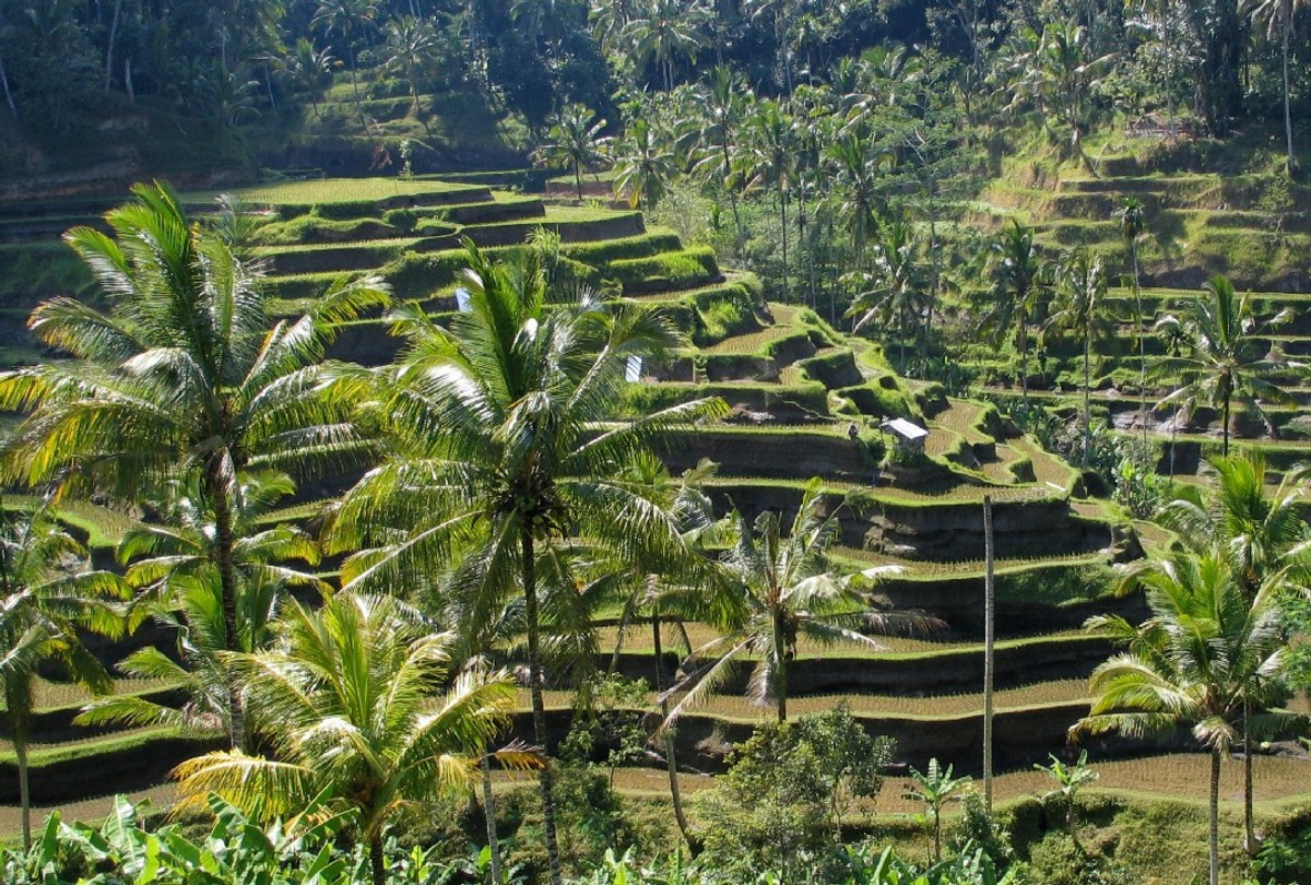 This marvelous scenery shows some rice fields in traditional Bali, Indonesia