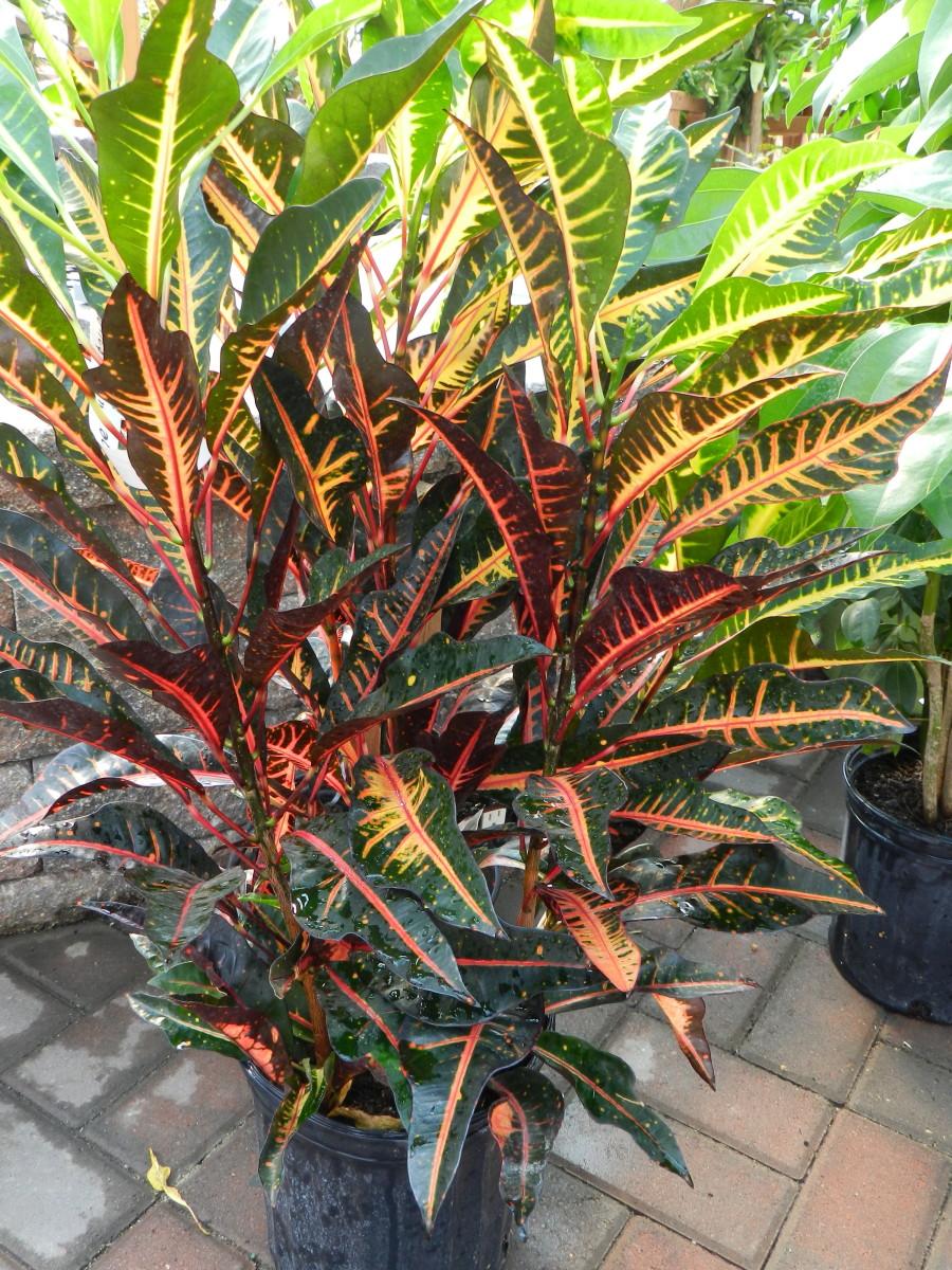 """Multicolor Croton """"Bush on Fire"""""""