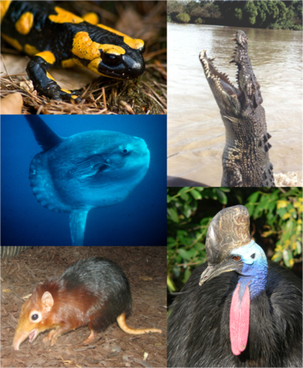 Vertebrates include Amphibians, Reptiles, Birds, Mammals and Fish