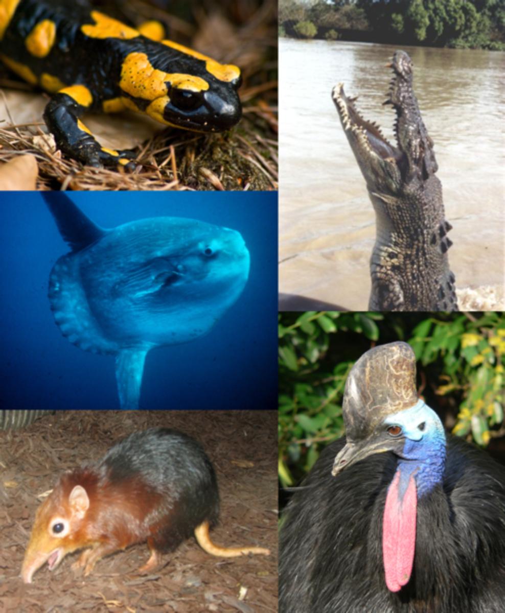 Vertebrates include Amphibians, Reptiles, Birds, Mammals and Fish