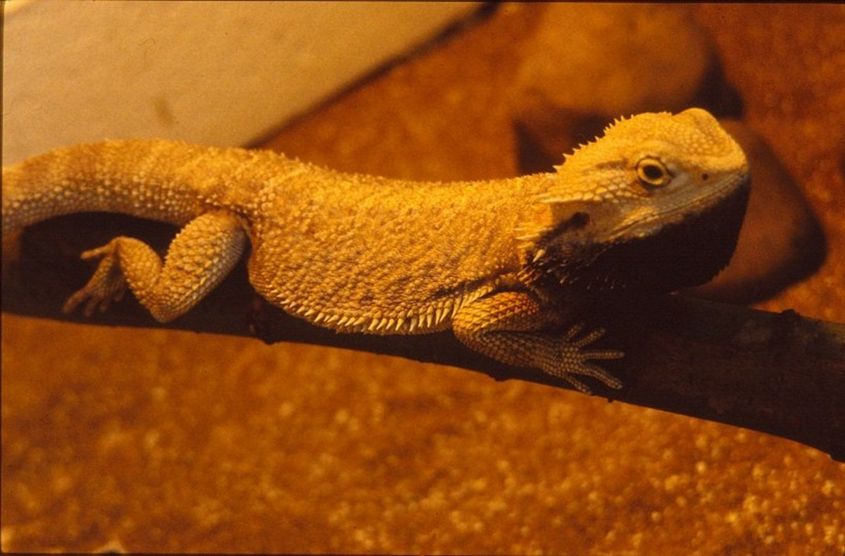 Adult bearded dragon