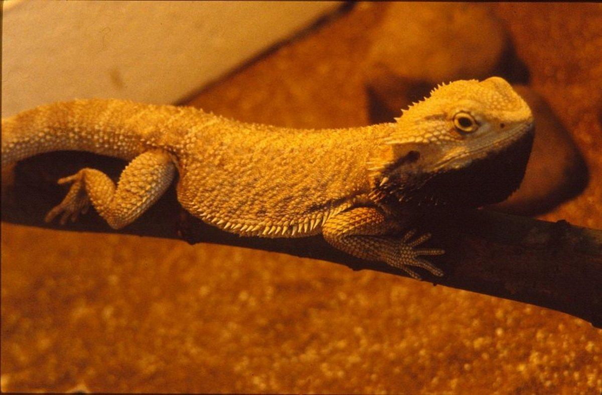 Adult bearded dragon