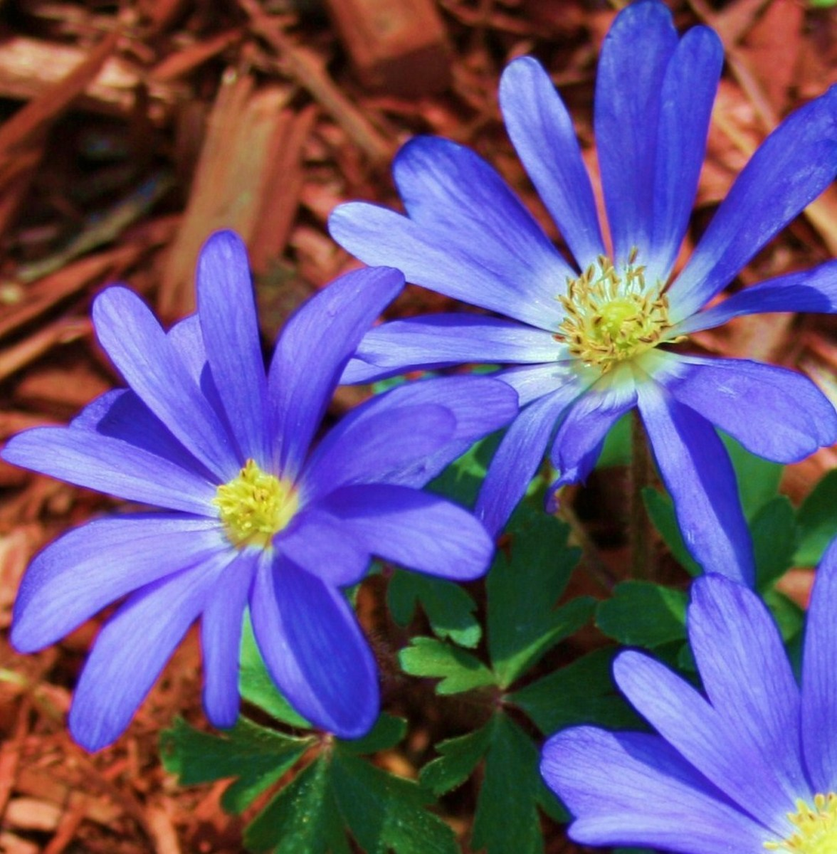 Anemone blanda blooms from late winter into early spring.