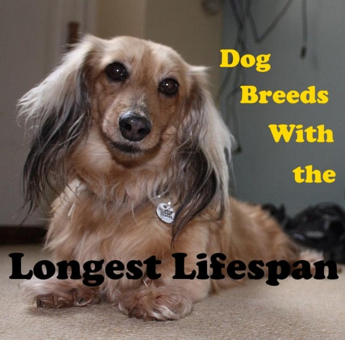 Dachshunds are one of the longest living dog breeds.