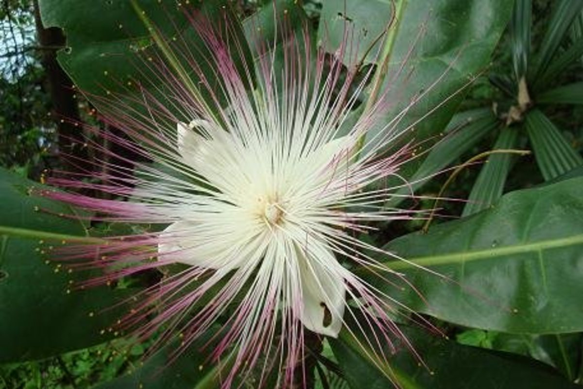 The beautiful blossom of  Barringtonia asiatica attracts nocturnal pollinators like bats and moths.